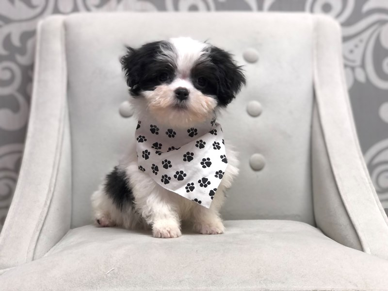 Morkie-Male-Blk & Wh-3143741-Furry Babies