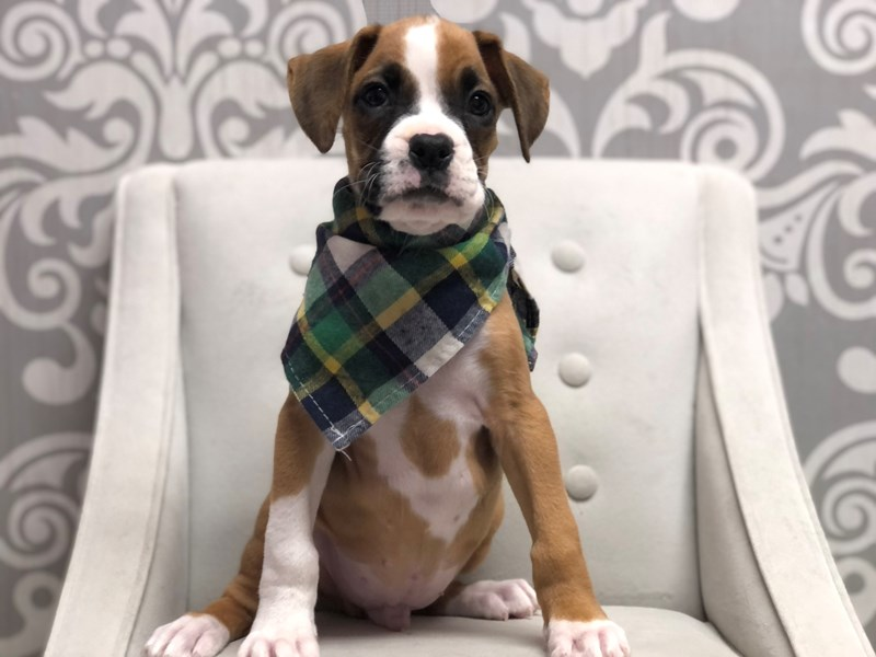 Boxer-Male-Fawn-3143743-Furry Babies