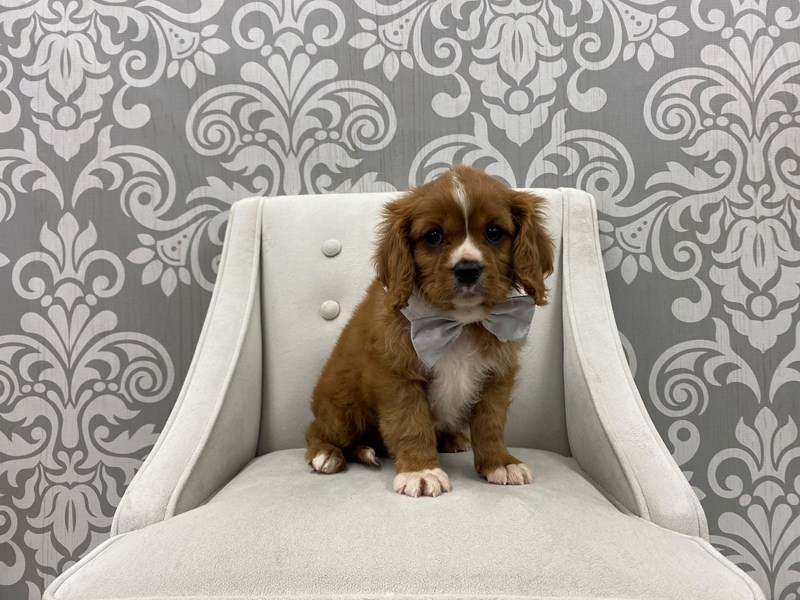 Cavalier King Charles Spaniel-Male-Red-3131188-Furry Babies