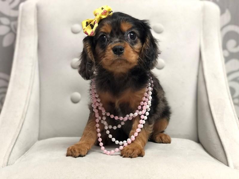 Cavalier King Charles Spaniel-Female-MERLE-3163827-Furry Babies