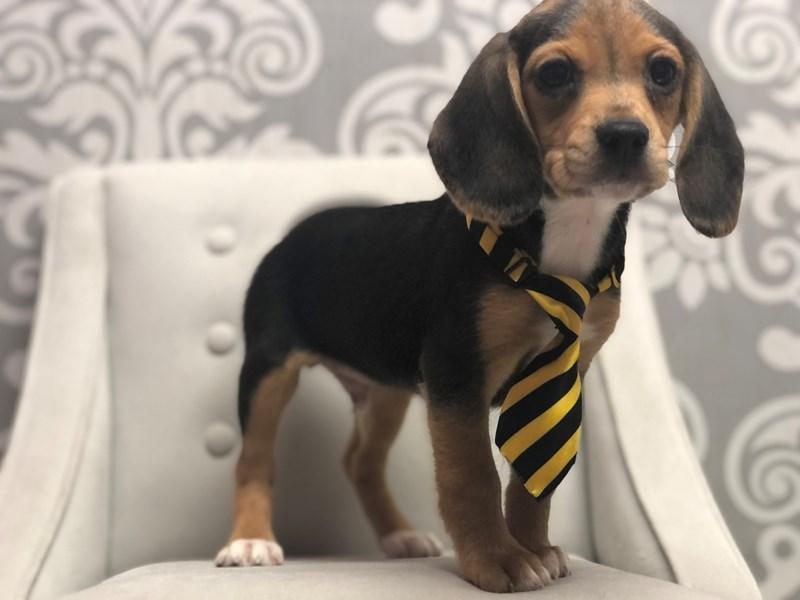 Beagle-Male-Black-3173185-Furry Babies