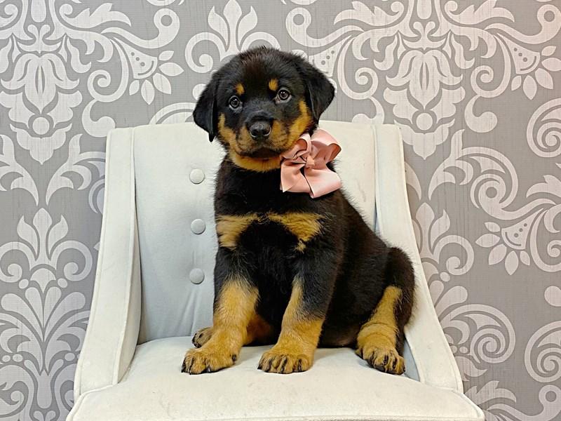 Rottweiler-Female-BLK TAN-3180249-Furry Babies