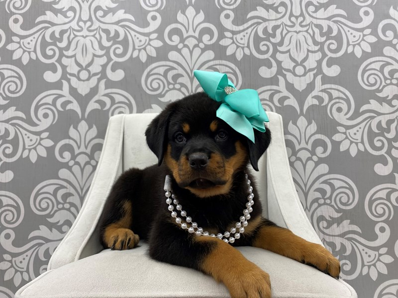 Rottweiler-Female-Black & Tan-3180250-Furry Babies