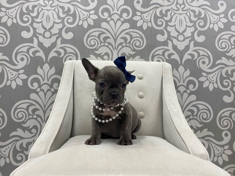 French Bulldog-Female-Blue-3189491-Furry Babies