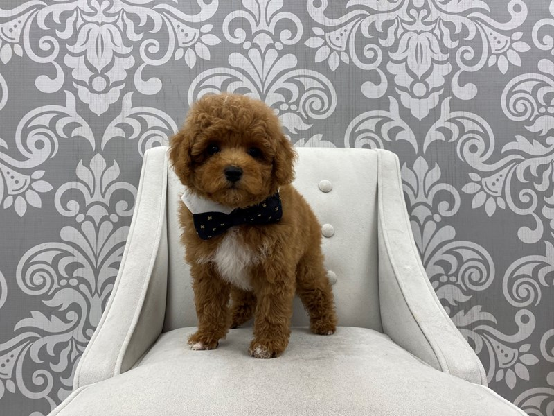 Miniature Poodle-Male-Red-3189734-Furry Babies