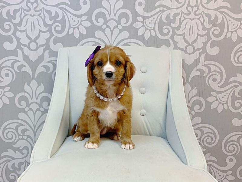 Cavalier King Charles Spaniel-Female-RED-3131190-Furry Babies