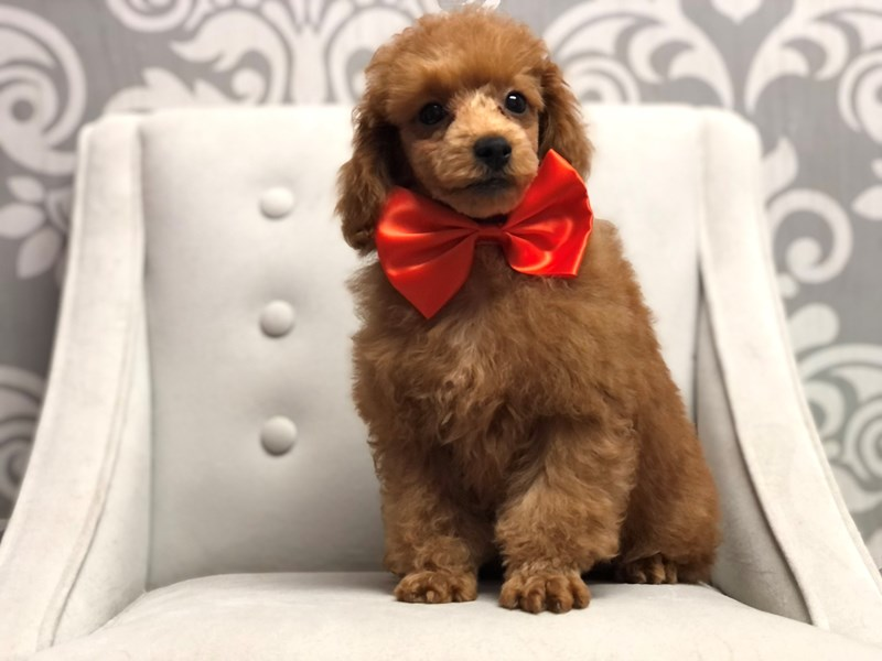 Poodle-Male-RED-3152117-Furry Babies