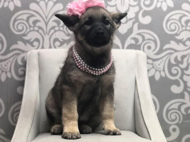 Norwegian Elkhound-Female-Sable-3173190-Furry Babies
