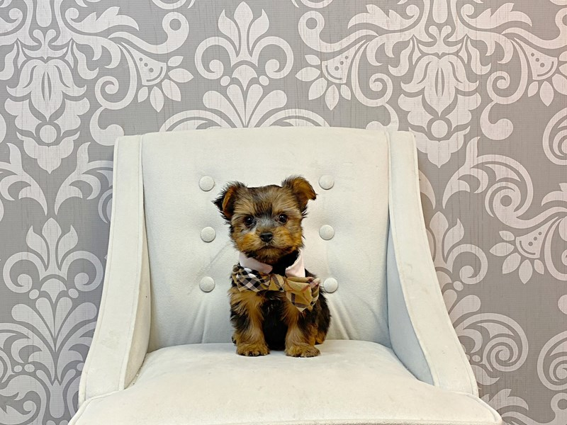 Yorkshire Terrier-Male-BLK TAN-3180432-Furry Babies