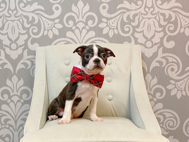 Boston Terrier-Male-BLK WH-3180366-Furry Babies