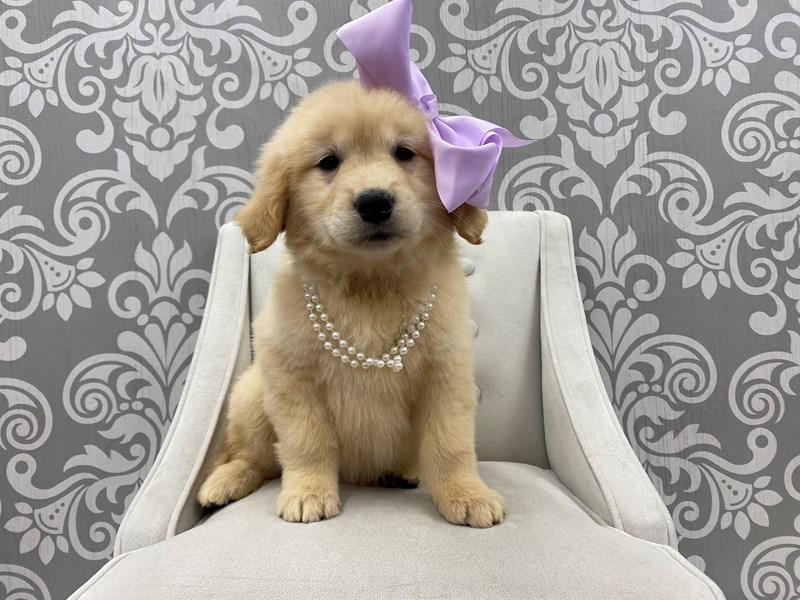 Golden Retriever-Female-Golden-3180543-Furry Babies