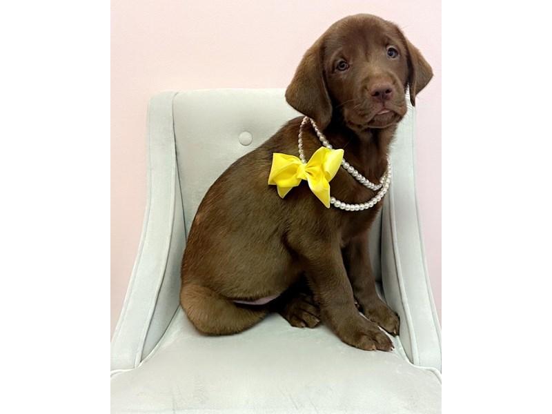 Labrador Retriever-Female-Chocolate-3189457-Furry Babies