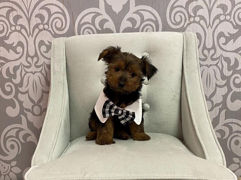 Yorkshire Terrier-Male-Black Tan-3198678-Furry Babies