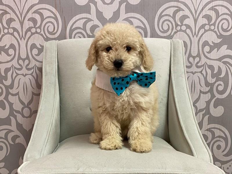 Poodle-Male-APRICOT-3198925-Furry Babies