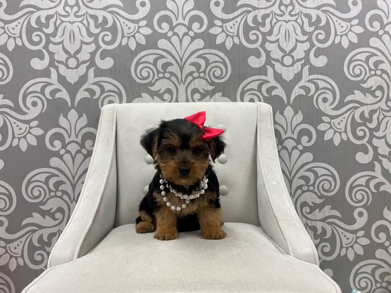 Yorkshire Terrier-Female-Black & Tan-3198682-Furry Babies
