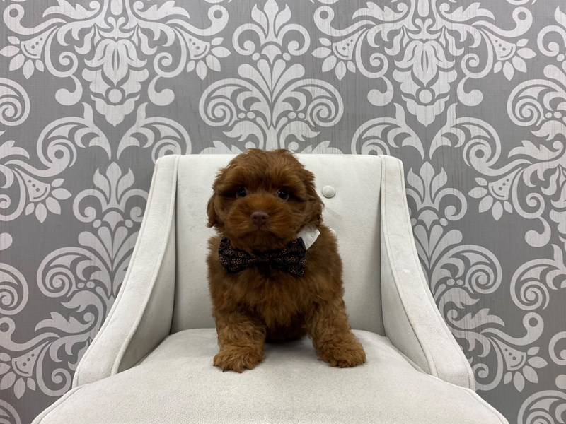 Yorkiepoo-Male-Chocolate-3198671-Furry Babies