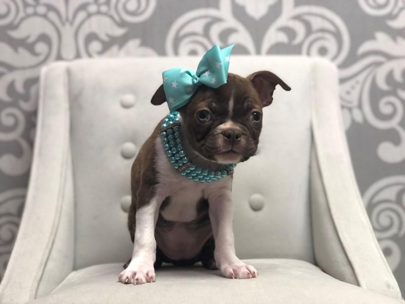 Boston Terrier-Female-Sl & Wh-3200463-Furry Babies