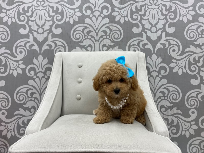 Miniature Poodle-Female-Red-3198828-Furry Babies