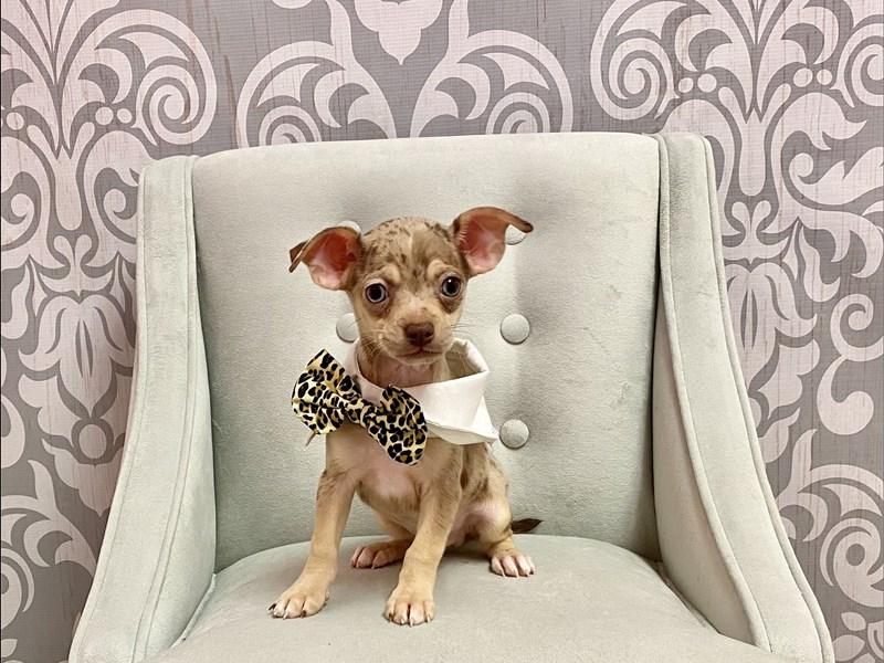 Chihuahua-Male-CHOC MERLE-3208516-Furry Babies