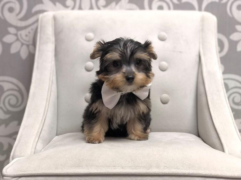 Yorkshire Terrier-Male-Black & Tan-3210340-Furry Babies