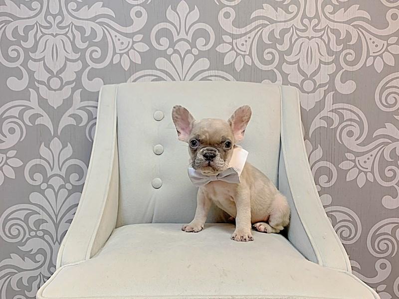 French Bulldog-Male-FAWN MERLE-3208399-Furry Babies