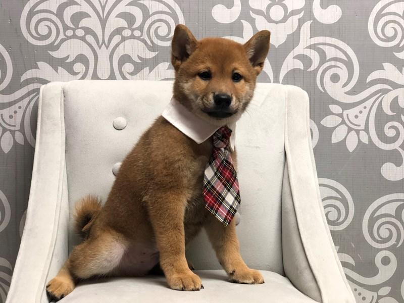 Shiba Inu-Male-Red-3218448-Furry Babies