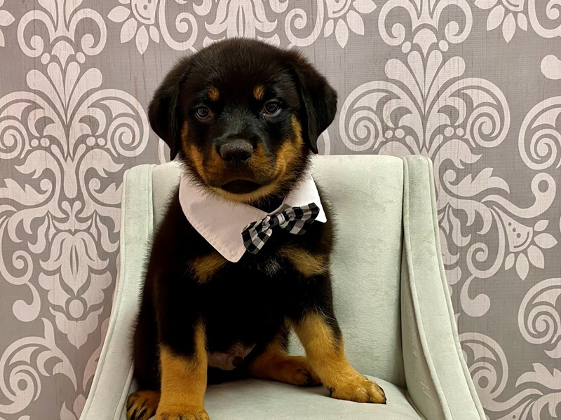 Rottweiler-Male-Black & Tan-3237233-Furry Babies