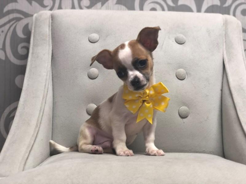 Chihuahua-Male-White-3173193-Furry Babies