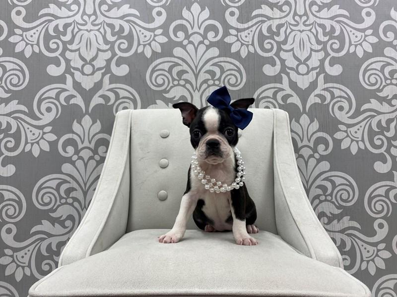 Boston Terrier-Female-Black & White-3180367-Furry Babies