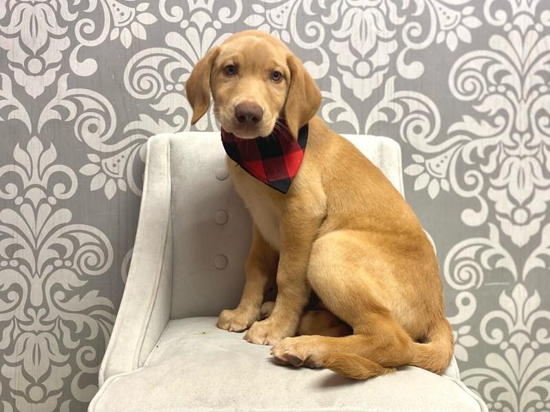 Labrador Retriever-Male-Yellow-3191730-Furry Babies