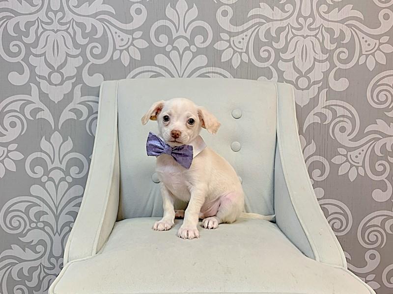Chihuahua-Male-CREME-3208512-Furry Babies