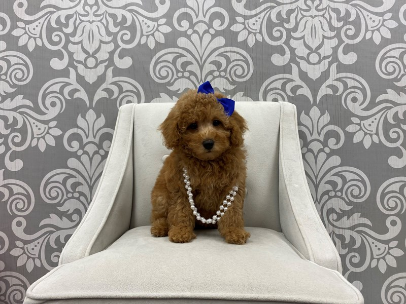 Poodle-Female-Red-3208498-Furry Babies