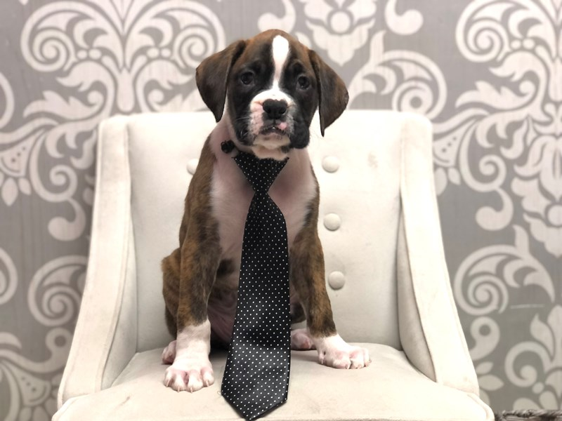Boxer-Male-Brindle & White-3227786-Furry Babies