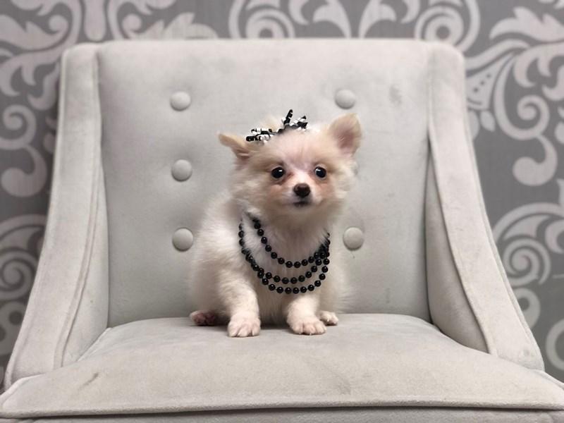 Pomeranian-Female-CREAM WH-3227839-Furry Babies
