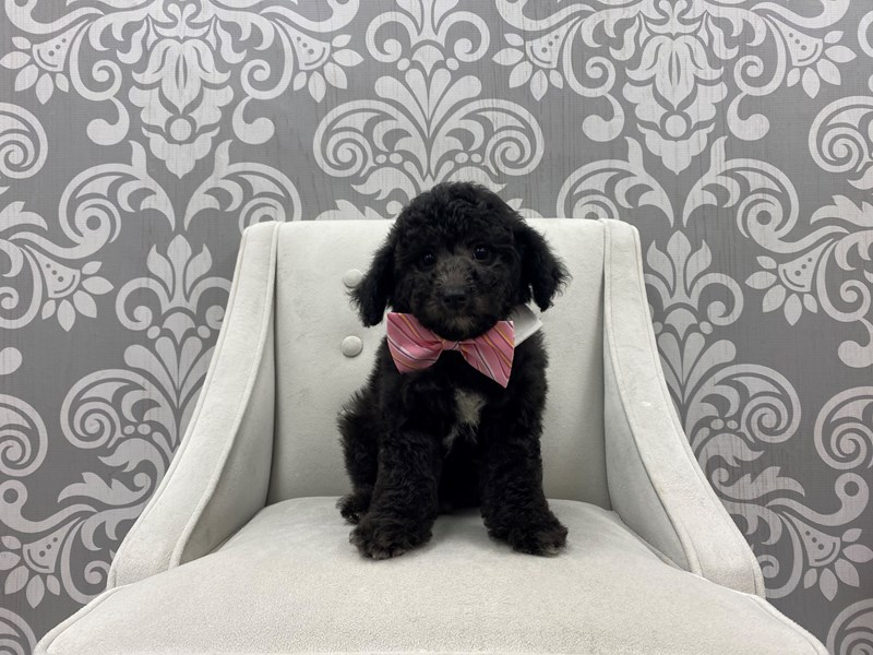 Poodle-Male-Red-3228167-Furry Babies