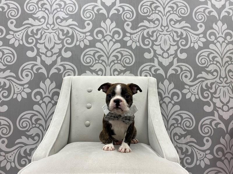 Boston Terrier-Male-brindle-3228050-Furry Babies