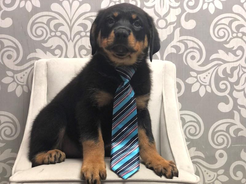 Rottweiler-Male-Black & Tan-3237236-Furry Babies