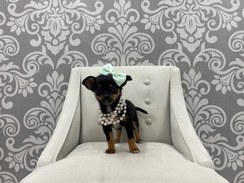 Chihuahua-Female-Black & Tan-3256906-Furry Babies