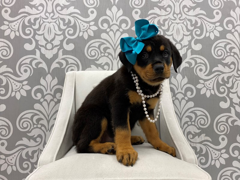 Rottweiler-Female-Black & Tan-3256639-Furry Babies