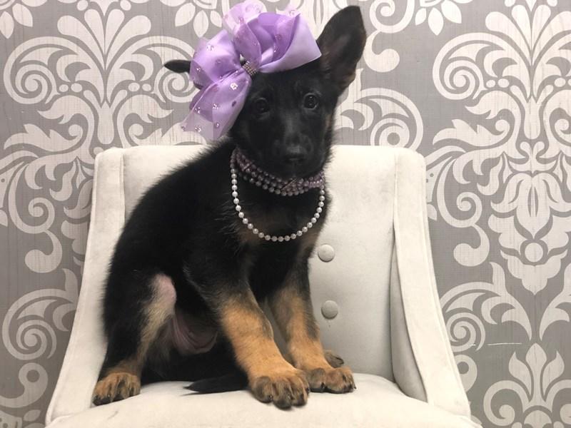 German Shepherd-Female-Black & Tan-3266043-Furry Babies