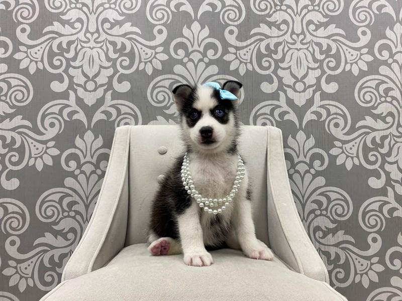 Pomsky-Female-blk wh-3265946-Furry Babies