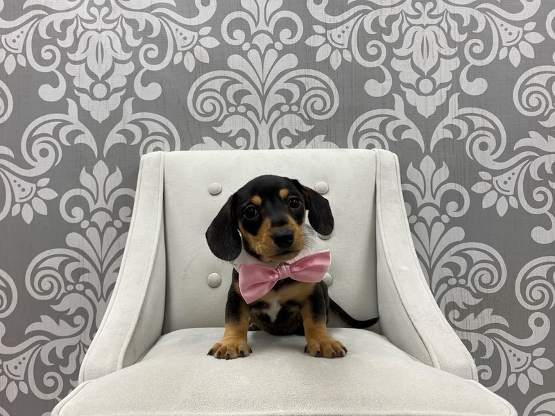 Dachshund-Male-Red-3275210-Furry Babies