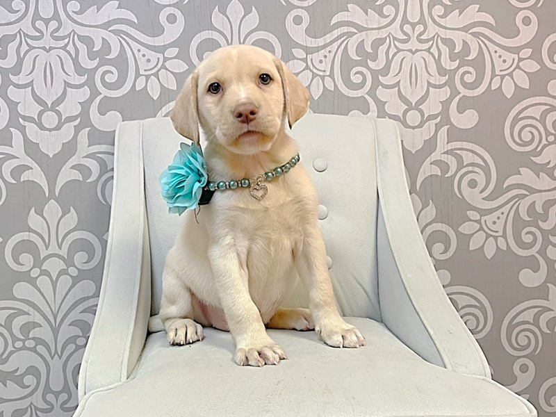 Labrador Retriever-Female-Yellow-3275414-Furry Babies