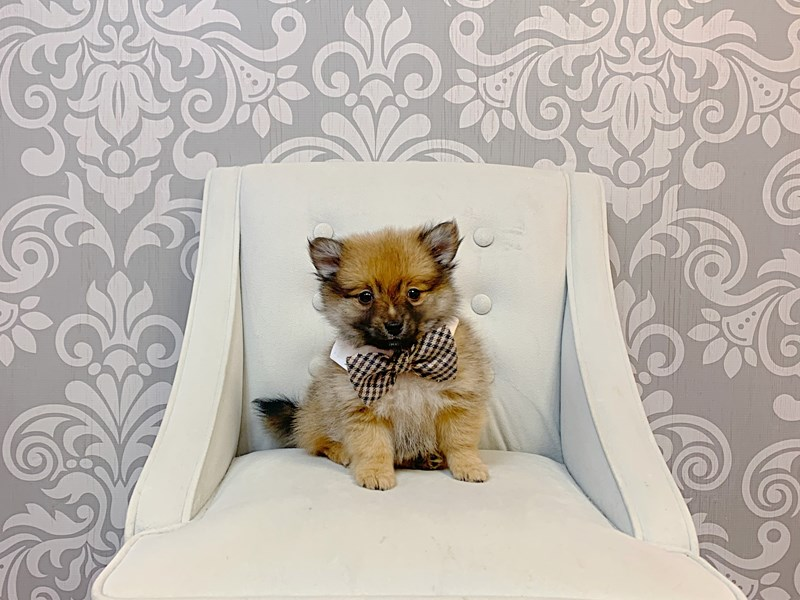 Pomeranian-Male-RED SABLE-3171808-Furry Babies