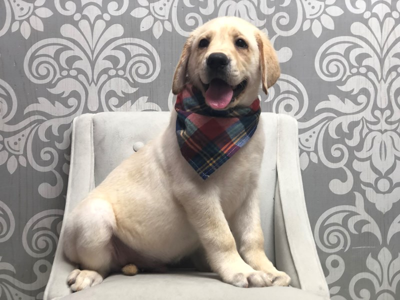 Labrador Retriever-Male-Yellow-3199660-Furry Babies