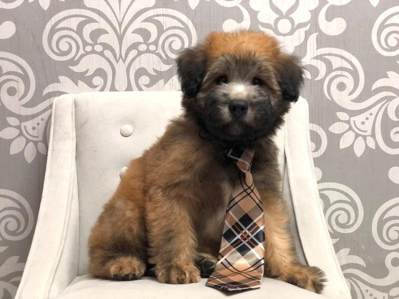 Soft Coated Wheaten Terrier-Male-Whtn-3210353-Furry Babies