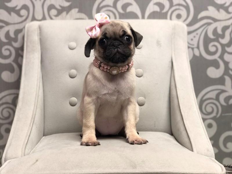 Pug-Female-FAWN-3208458-Furry Babies