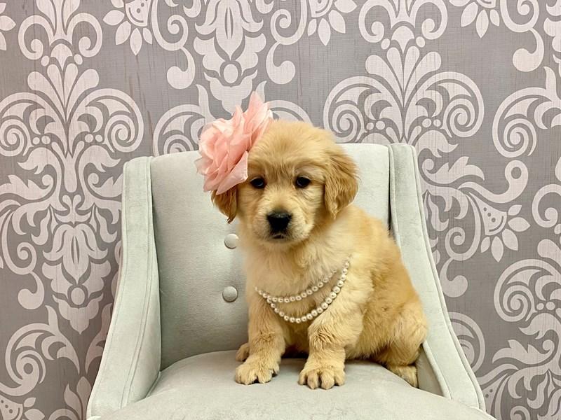 Golden Retriever-Female-Golden-3237332-Furry Babies
