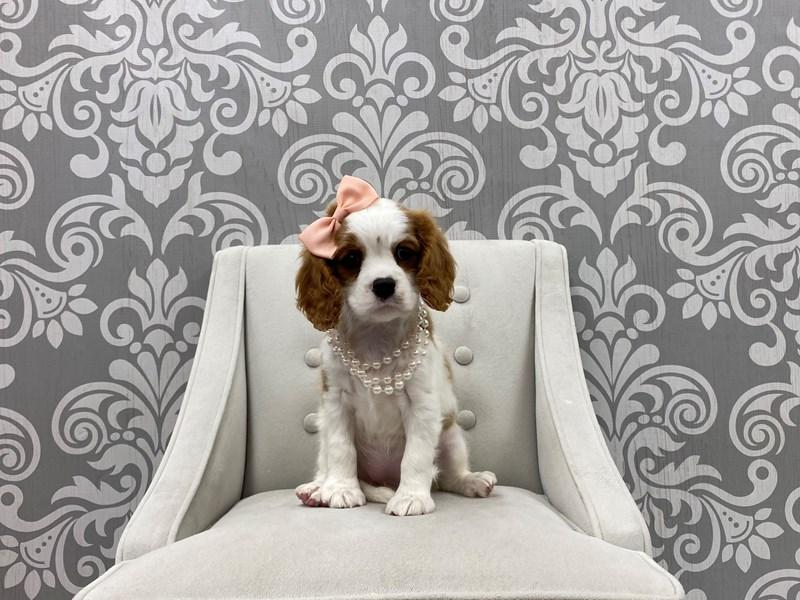 Cavalier King Charles Spaniel-Female-Blenheim-3261478-Furry Babies