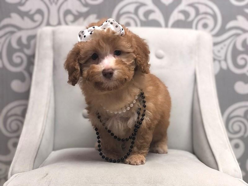 Poodle-Female-apct-3268160-Furry Babies